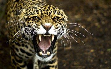 леопард, клыки, хищник, оскал