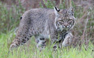 трава, рысь, животные, хищник, дикая кошка