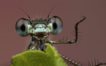 глаза, фон, лист, насекомые, стрекоза, лапки