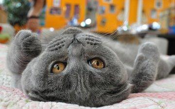 глаза, кот, мордочка, кошка, взгляд, лапа, британец, желтые глаза