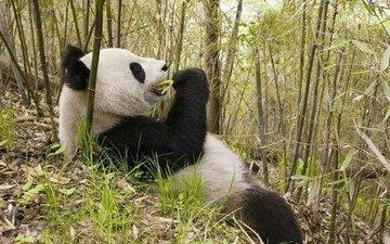 природа, животные, панда, медведь, бамбук
