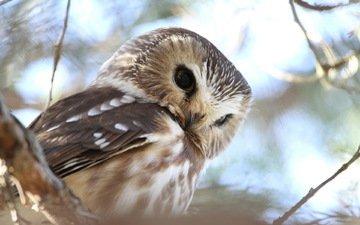 сова, природа, лес, ветви, птица
