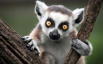 животные, лемур, катта, кошачий, кольцехвостый, ring-tailed lemur