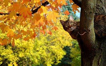 дерево, листья, кот, кошка, осень, клен, полосатый