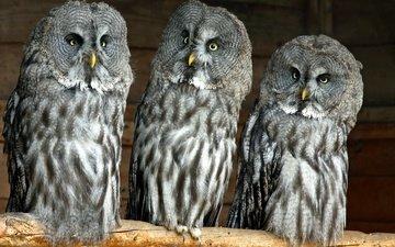 птицы, совы, бородатая неясыть, хищные
