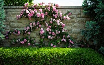 цветы, кусты, розы, стена