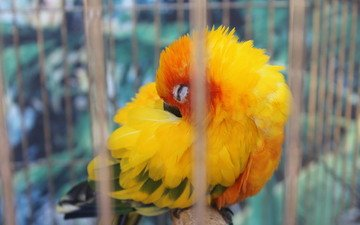 желтый, сон, птица, клетка, попугай, оперение