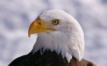 взгляд, профиль, птица, клюв, белоголовый орлан, птаха
