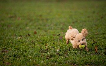 трава, листья, пушистый, собака, щенок, игра, мяч, пудель, газон