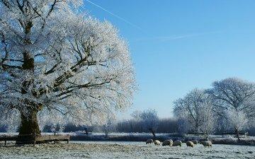 деревья, снег, природа, зима, пастбище, овцы, стадо