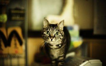 кот, кошка, взгляд, дом, зеленые глаза, полосатый