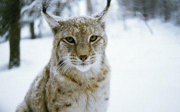 лес, зима, рысь, хищник, дикая кошка