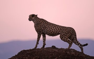background, rock, predator, big cat, cheetah, observation