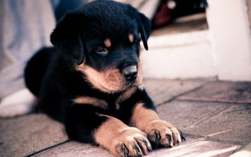 face, paws, dog, puppy, rottweiler