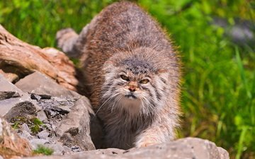 морда, трава, камни, манул, дикий кот