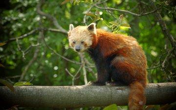 дерево, листья, животные, красная, панда, ствол, красная панда, малая