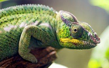 ящерица, хамелеон, рептилия, пресмыкающиеся