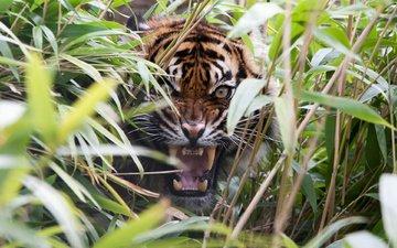 тигр, трава, ярость, клыки, хищник, оскал, пасть