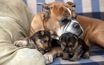 собака, дом, щенки, семья, забота, диван, боксер