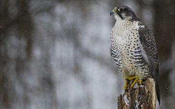 снег, зима, взгляд, профиль, птица, сокол, хищная, кречет