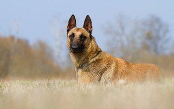 look, dog, each, malinois, belgian shepherd