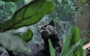 хищник, большая кошка, пантера, черная, джунгли