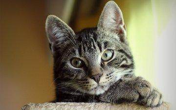 морда, кот, кошка, взгляд, серый, полосатый, милый
