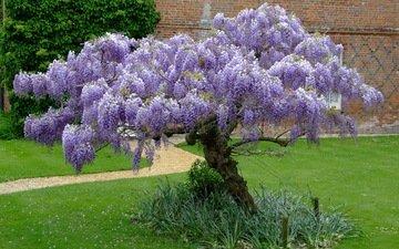 цветы, трава, дерево, цветение, парк, дорожка, глициния