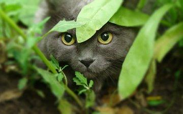 морда, трава, кот, кошка, взгляд, охота, желтые глаза