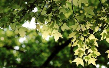 зелень, листья, ветки, ветви, боке