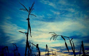 небо, трава, вечер, природа, растения, тень, кукуруза, стебель, очертания, листья (