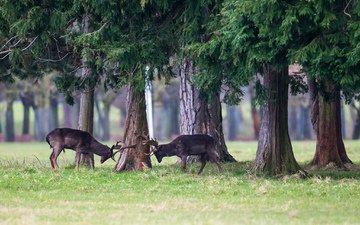трава, деревья, лес, животные, борьба, игра, рога, олени