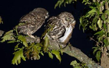 ночь, ветка, птицы, мышь, охота, совы, домовые сычи