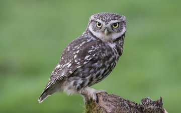 owl, looks, sitting, bird, moss, stump