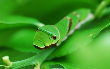 eyes, background, sheet, insects, green, caterpillar