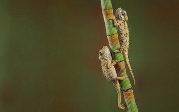 фон, растение, ящерицы, рептилии, хамелеоны