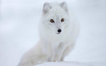 снег, мордочка, взгляд, песец, полярная лисица