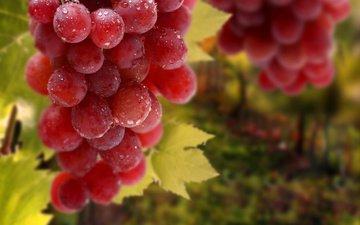 листья, виноград, капли, красный, гроздь
