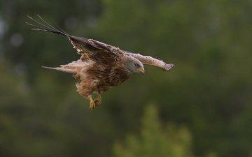 природа, полет, крылья, птица, хищная