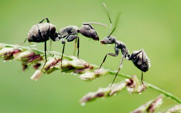 grass, macro, drops, insects, ants