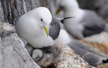 чайка, птицы, чайки, птенцы, гнездо
