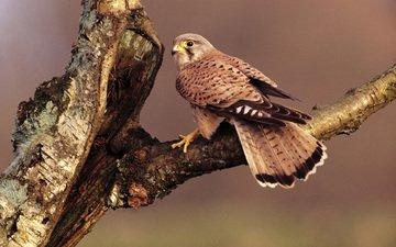 ветка, дерево, сидит, птица, клюв, перья, хвост, сокол