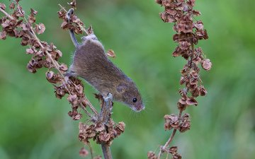 leaves, animals, mouse, plant, vole, dry. branch