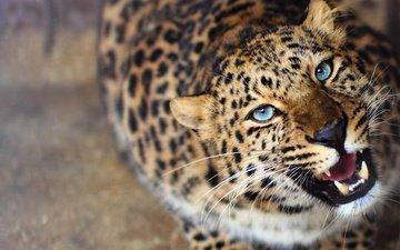 морда, леопард, хищник, любопытство, оскал