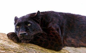 лежит, хищник, пантера, черный леопард, дикая кошка