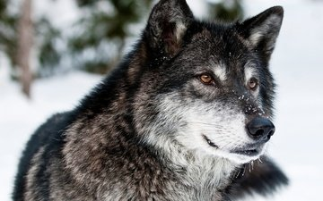 face, snow, winter, look, grey, predator, wolf