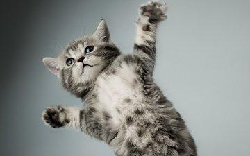 лапы, кошка, котенок, серый, полосатый, ккотенок
