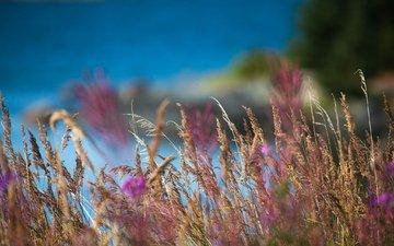 трава, природа, макро, поле, размытость, колоски