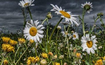 небо, цветы, поле, ромашки, одуванчики, луговые, полевые