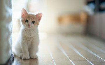 свет, кошка, взгляд, котенок, дом, комната, внимание